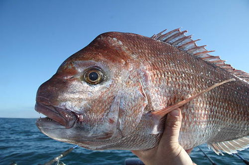 20m Snapper Bigfish Grade 5.5inch x 25MD Mesh Net