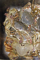 Read entire post: How to Catch Paddle Crabs Info